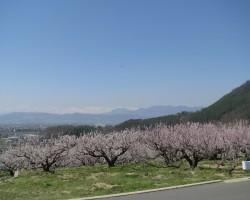 白銀の北アルプスと満開の杏畑